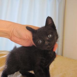 かわいいクリクリお目目の黒猫くろーど君