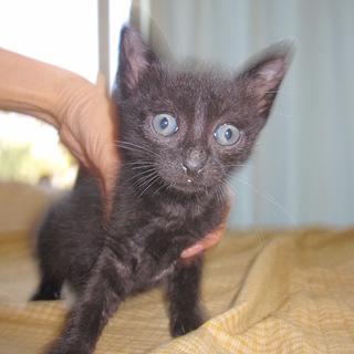 かわいいくりくりお目目の黒猫 くろえちゃん
