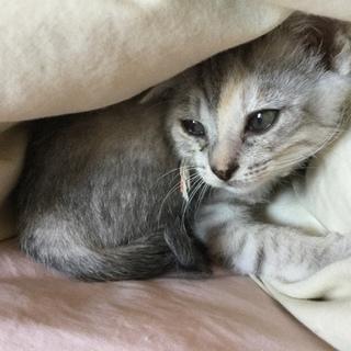 とても可愛い子猫のメスの里親様募集しています!