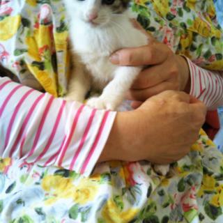 シマ三毛女の子生後2ヶ月