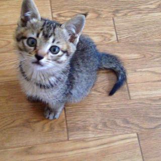 キジトラの子猫 生後1~2ヶ月