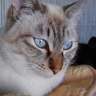 シャムmix 伝説を持つ猫!