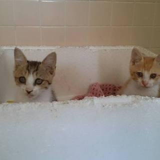 大分県より生後2か月の仔猫 3匹(♂・♀・♀)