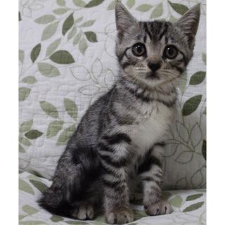 【2か月】猫じゃらし大好き♀【5姉妹】