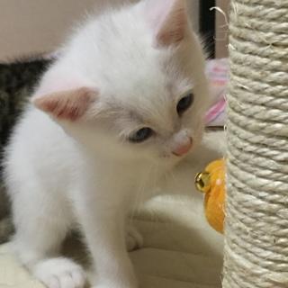 グレーの目がキュートな白猫さん