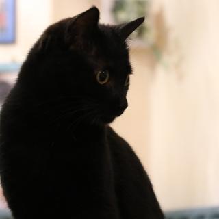 キレイな毛並み!お月さまみたいなお目目の黒猫さん