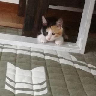 ミケ猫ちゃんの里親になりませんか?