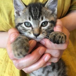 ポンポンしっぽの美猫3兄妹(マーブル女の子)