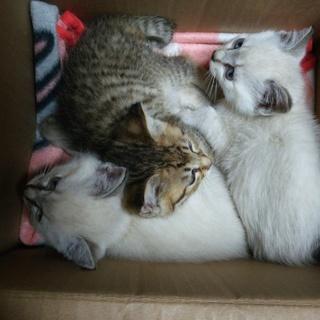 生後1ヶ月未満の子猫3匹里親募集中