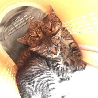 保護ネコ三兄弟。家族に迎えて下さい‼️