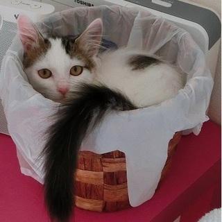 尻尾が長い白キジちゃん。