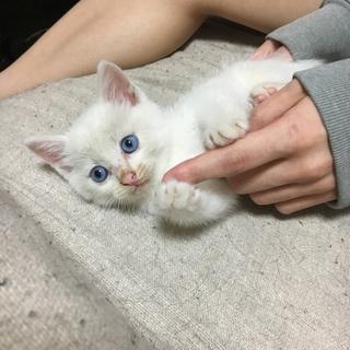 困り顔の白猫です