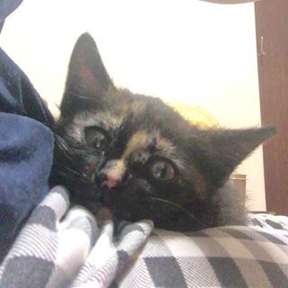 1ヶ月半のサビ柄猫ちゃんです