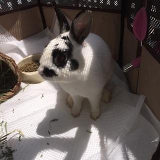 ウサギ♀さんの里親様急募