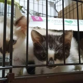 子猫2匹の里親を募集しています。