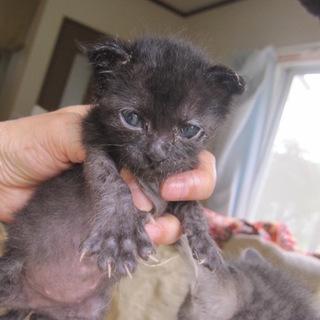 かわいい赤ちゃん黒猫じょいなーちゃん 離乳中