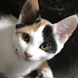 生後4ヶ月の三毛猫の姉妹の里親さんを募集します