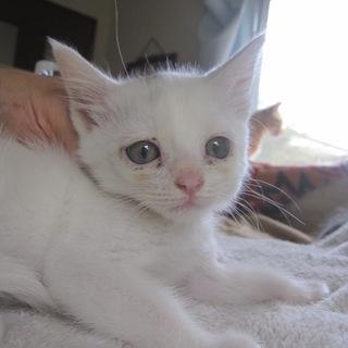 グレーのぽち かわいい白猫ふぁんたちゃん
