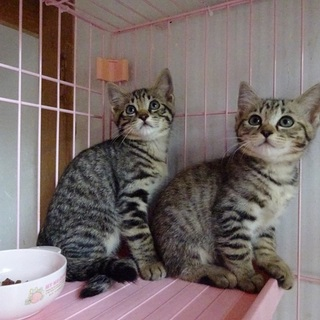 きれいな模様のキジトラ兄妹子猫