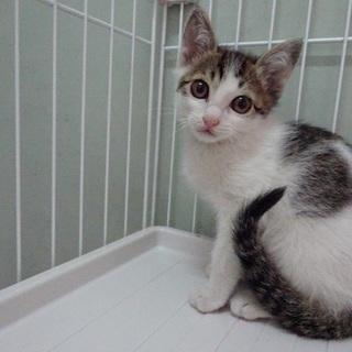 目の大きなキジシロ子猫