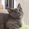 ロシアンブルーセイラちゃんミックス猫グレイ灰色
