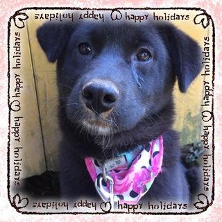 黒ラブ風垂れ耳の可愛い仔犬