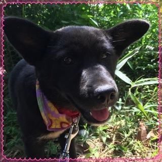 立耳甲斐犬風の可愛い仔犬
