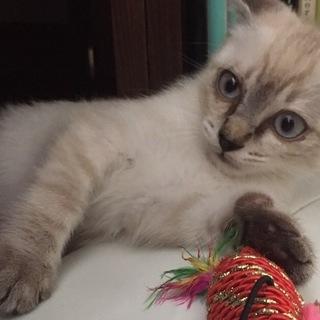 ブルーアイの子猫