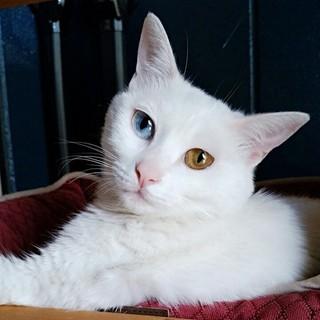 人も猫も大好きオッドアイの女の子ジャジャちゃん