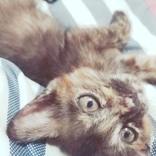 サビ柄のメス猫ちゃん>>生後約2ヵ月♡