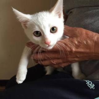 真っ白い仔猫ちゃんの里親募集