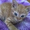 ブルーの瞳の可愛い仔猫です