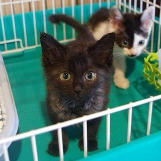 長毛系の美人黒猫の子猫さんです