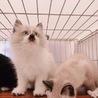 ★半長毛 シャムミックスの子猫★