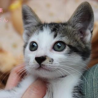 あまあま♡キジ白子猫すあまくん里親募集