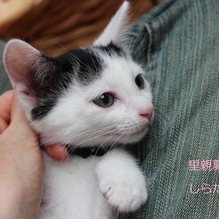 あまあま♡白黒子猫しらたまくん里親募集