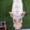 1年目のミニ豚を大事に育てて下さる方募集中