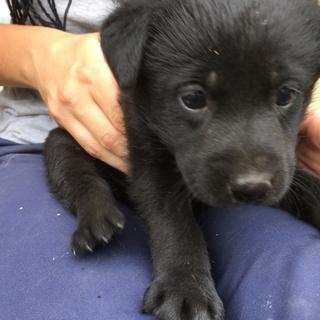 母犬は黒ラブ、4兄妹の子犬です