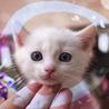 白猫オッドアイ♡1.5ヶ月ライト兄妹2匹以上限定