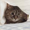 寄り目がキュート!落ち着いて飼いやすい成猫サビ女子