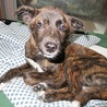人気のトラ柄、性格の良い賢い子犬 サムネイル4