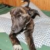 人気のトラ柄、性格の良い賢い子犬 サムネイル5