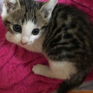 サバ白男の子・目が大きく可愛い子猫です