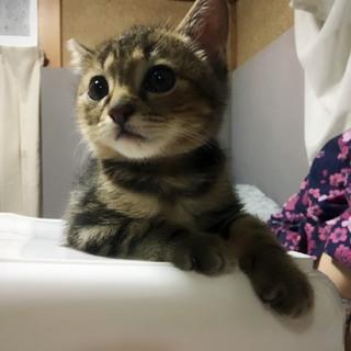 愛媛県松山市保健所から保護仔猫14番アメショMix