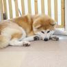 若くて落ち着きのある秋田犬の男の子 サムネイル7