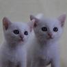 【募集一時停止】美しい白猫兄妹 剛&ティアラです♪