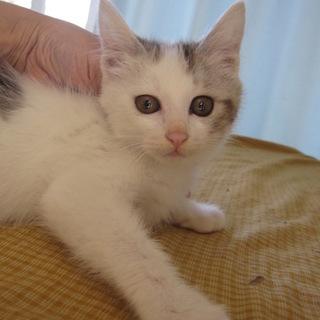 甘えん坊のキジ白 かいくん 3ヶ月齢
