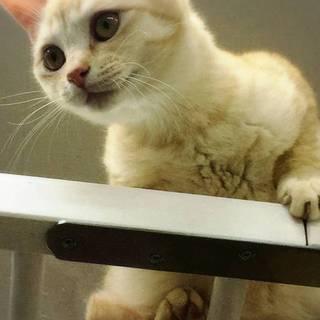 めちゃめちゃ甘えたさん クリーム茶トラの美猫さん