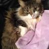 ノルウェージャンの室内飼い美人猫ちゃんです