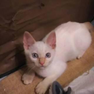 お耳としっぽがクリーム色♡真っ白に青い目の男の子